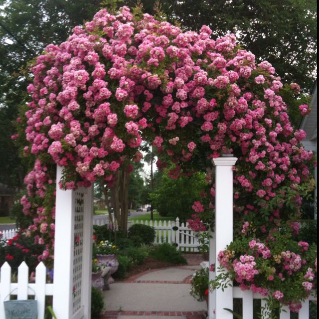 Seven Sisters Roses: Seven Sister Roses