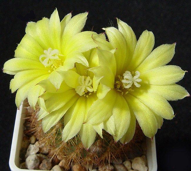 Un cierto n mero de especies se cultivan como plantas de for Algunas plantas ornamentales