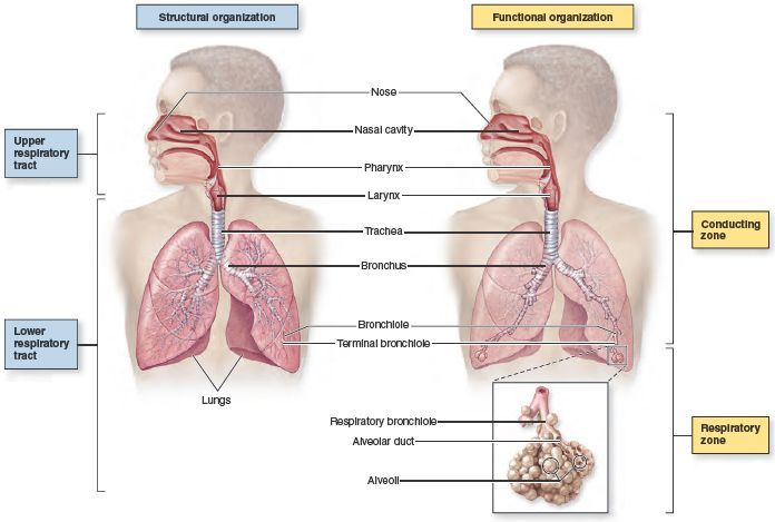 Figure 231 General Anatomy Of The Respiratory System Structurally