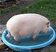 Potbelly Pigs - Yahoo Canada Image Search Results
