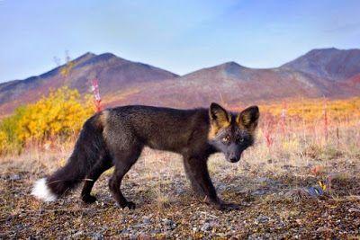 Новости о животных: Фотосессия легендарной лисицы.