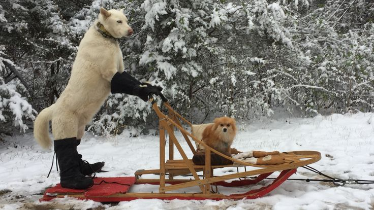Richie Camden photo of Fleury is the husky. And Bebe is the pomeranian -  Bebe sitting in a Mukluk boot while Fleury is sporting his Steger boots and gloves, proving that even the warmest winter coats can't protect your paws! - Hillsboro, Missouri #mukluk #stegermukluks