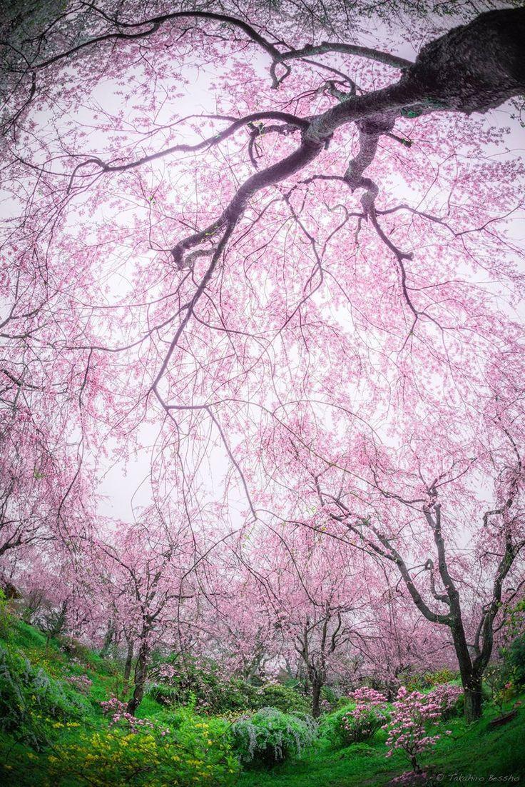 Cherry Garden ~ Kyoto, Japan Takahiro Bessho 原谷苑の桜