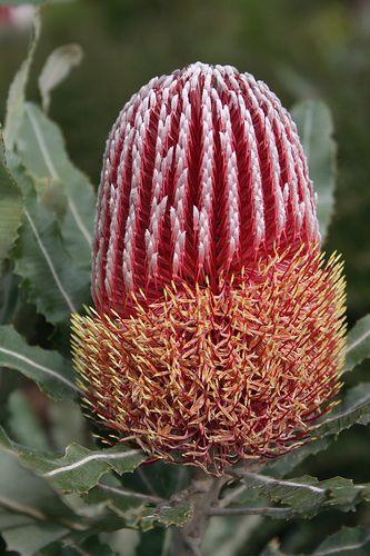 Banksia menziesii flower