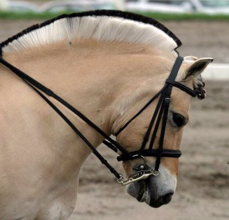 fjord horse | Let me see your Norwegian Fjord pics and anything Fjord! - Page 3