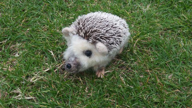 Realistic Pet Portrait/ Animal/ Hedgehog Needle Felt - pinned by pin4etsy.com