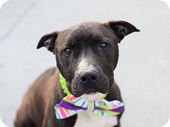 Ridgefield, CT - American Pit Bull Terrier Mix. Meet Mason, a dog for adoption. http://www.adoptapet.com/pet/15476214-ridgefield-connecticut-american-pit-bull-terrier-mix