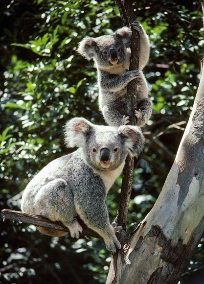 Koala Bears, Australia