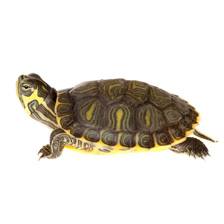 Baby Cumberland Slider Turtles for sale (Trachemys elegans) approximately the size of a United States quarter. Fast shipping to your door.