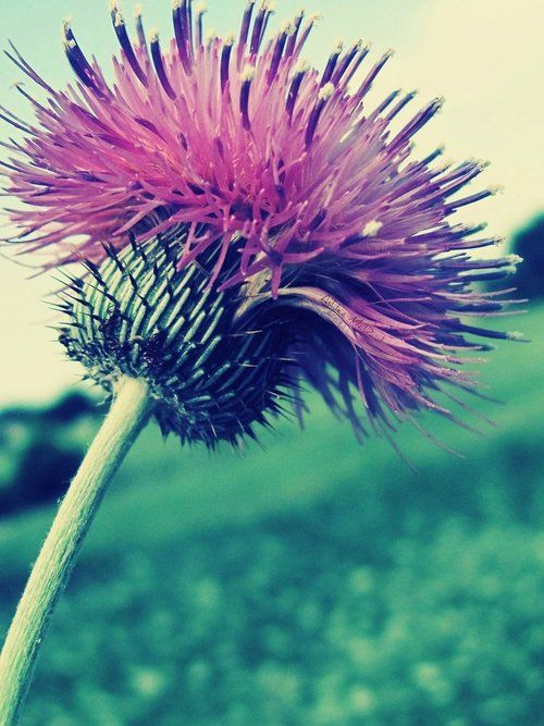 Thistles....reminds me of childhood walks in our fields.