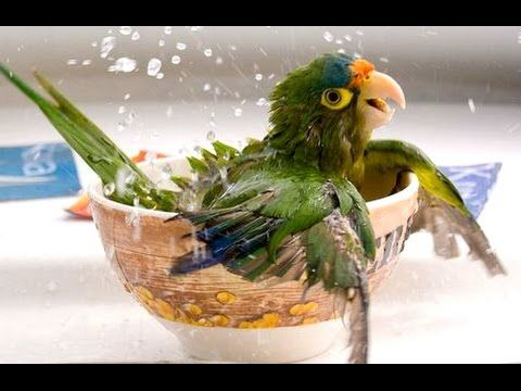 Funny Parrots A Funny Parrot Videos Compilation 2015-A funny parrot can be so cute. Check out these funny parrot videos. Contains some funny parrots dancing, some funny parrots talking or better said, imitating, some cute parrot videos of parrots playing or doing other stuff. So enjoy this funny parrot compilation.