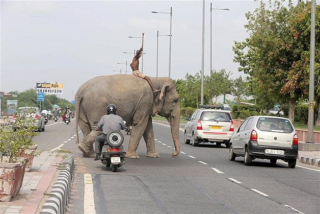 Only in India! July 9, 2013: Shambu Dada, an Indian mahout, or elephant keeper, signals toward oncoming traffic as he rides his elephant, Kanchan, in New Delhi on July 6. According to news sources, there are some 28,000 wild elephants in India & thousands that are domesticated.