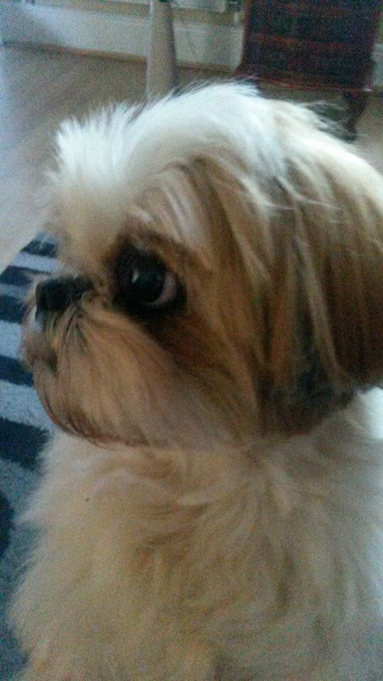 About for the dogs on pinterest shih tzu shih tzu puppy and diy dog