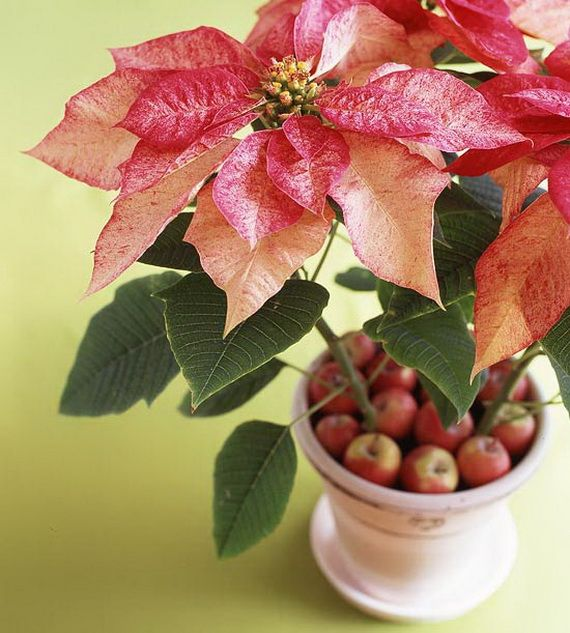 11 best poinsetia images on Pinterest | Poinsettia, Flowers and ...