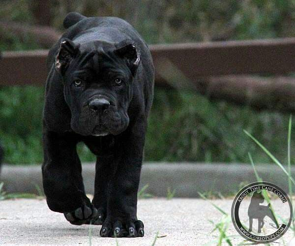 75 best images about Cane Corso on Pinterest