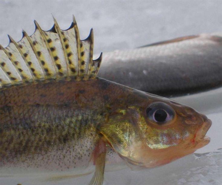 рыбка ершик картинки его ромбиками, середине
