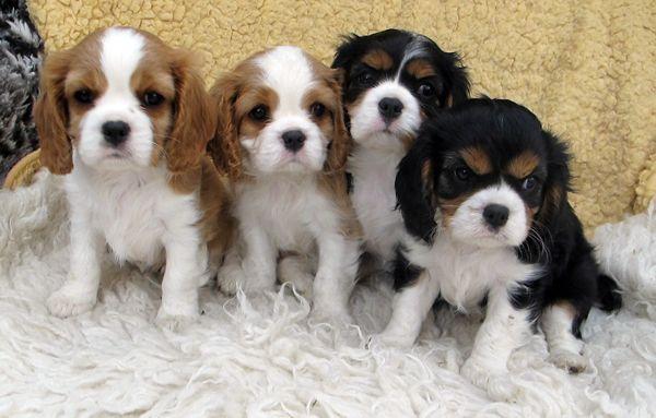 Chovatelská stanice psů