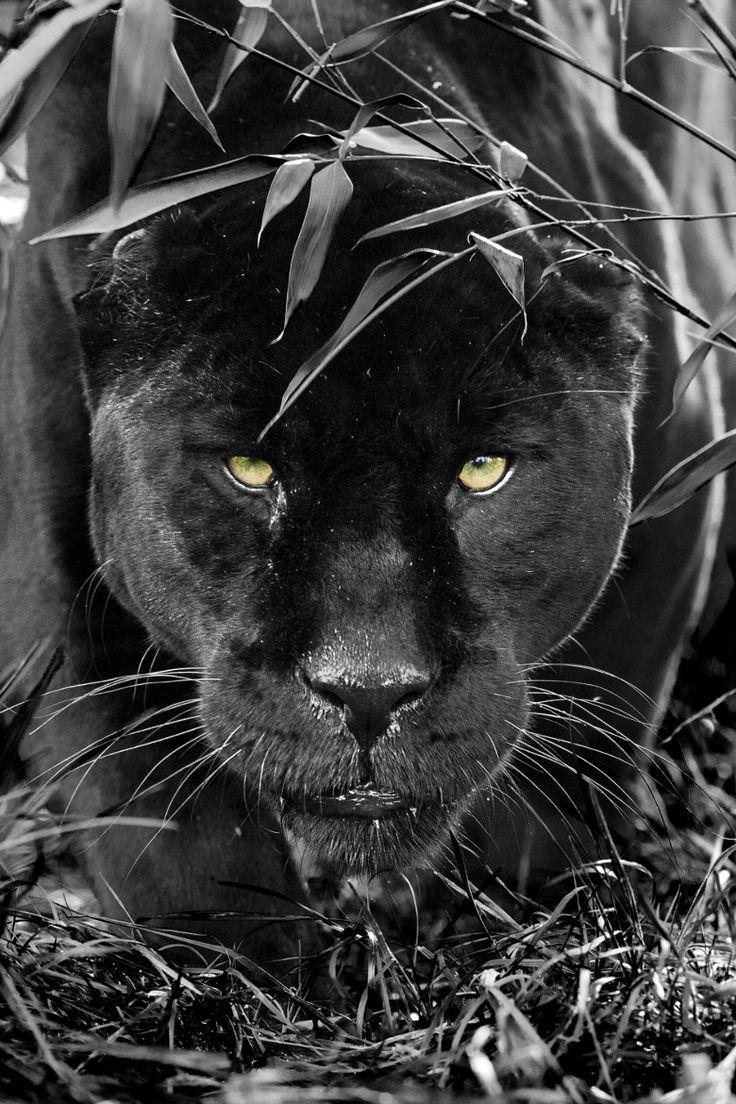 Pantera negra/ Gira mágica naturaleza