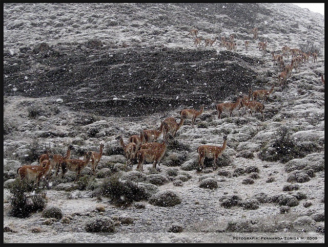 Guanacos invernales II by FeñyZ, via Flickr