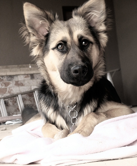 17 Best images about German Shepherd Husky Mix on ...