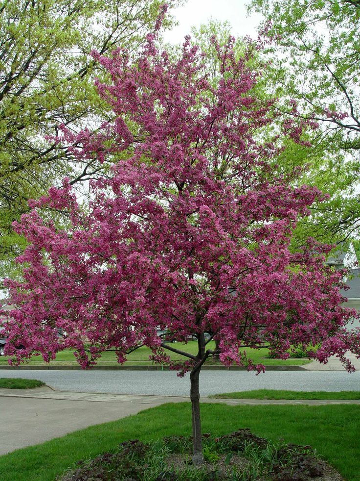 Crabapple Prairifire Outstanding Ornamental Tree Can