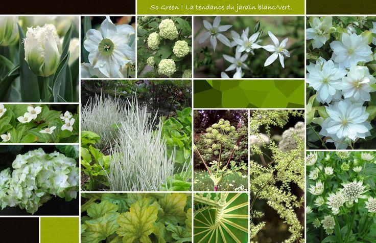 "Green and white garden: Fringed Tulip 'Snowvalley'; Narcissus poeticus ""sinopel'; Hydrangea serrate 'Hakudo'; Ornithogaleum umbellatum (?); Clematis 'Dancing Dorien'; Hydrangea macrophylla 'Magical Jade'; Holcus mollis 'Albovariegatus'; Heuchera 'Mint Julep'; Nicotania langsdorffii'; (stairs or leaf?); Astilibe rivularis ""Grandiflora'; Astantia 'Star of Billion'."