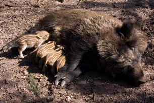 Eerste wilde zwijnen 2015 geboren