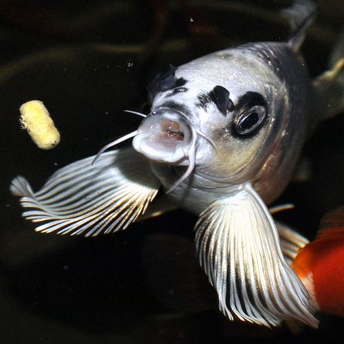 154 best images about butterfly koi orandas for Petco koi fish