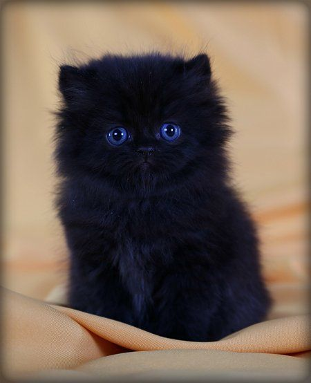 Fluffy Black cat, but look at those dark blue eyes. Description from pinterest.com. I searched for this on bing.com/images