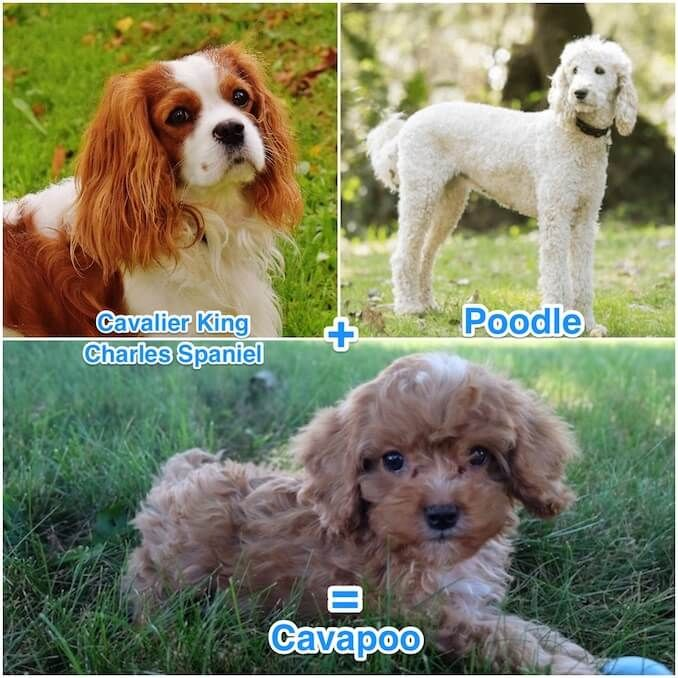 Cavapoo Breeders Care Guide Appearance And Temperament Cavalier King Charles Spaniel King Charles Spaniel Cavalier King Charles Spaniel Tricolor
