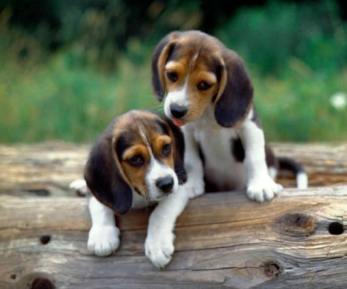 Beagle Tips Puppy Funny Quotes Cats Funny Quotes Beaglemodel