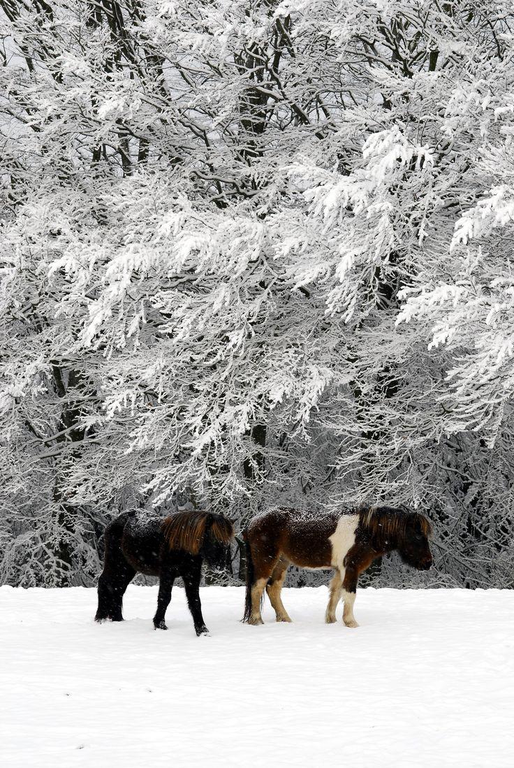 #turridning  #heste  #islænder  #ridning #islandskeheste #icelandichorse #icelandicpherd #rideture #tøltheste #vengedalen