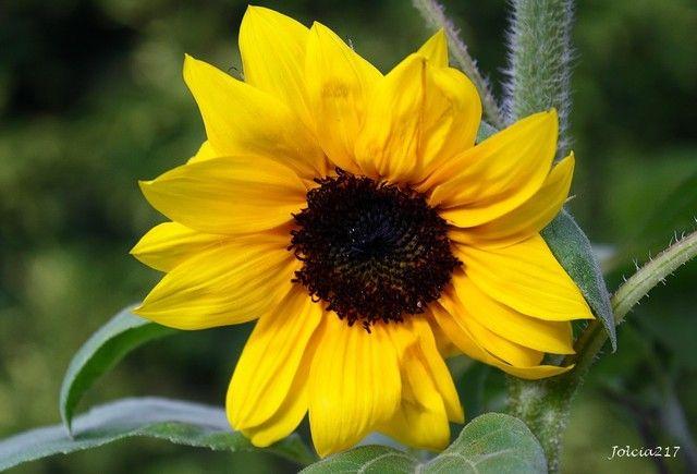 Slonecznik Ozdobny Plants Flowers