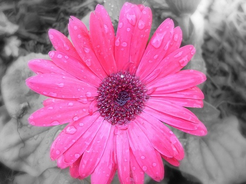 Pink Gerber Daisy (Black and White) by Catecumena Denisse, via Flickr