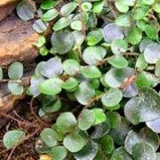 Botanical name: Pellaea rotundifolia    Other names: Button fern, Roundleaf   Fern    Click image to learn more, add to your lists and get care advice reminders each month.