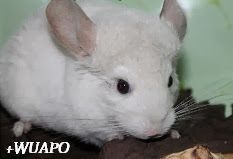 +WUAPO MODA CANINA Y MAS: CHINCHILLAS