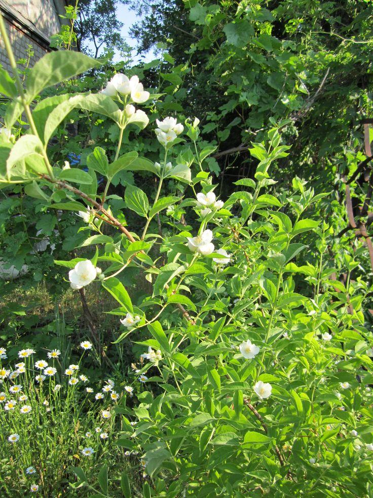 Что чубушнику или садовому жасмину полезно и что вредно.  Полезно: открытое солнце, влажная плодородная легкосуглинистая почва, защищённость строениями от северных ветров.  Вредно: чрезмерная сухость почвы, бесплодная супесчаная почва или наоборот тяжёлая глина, близкие грунтовые воды.