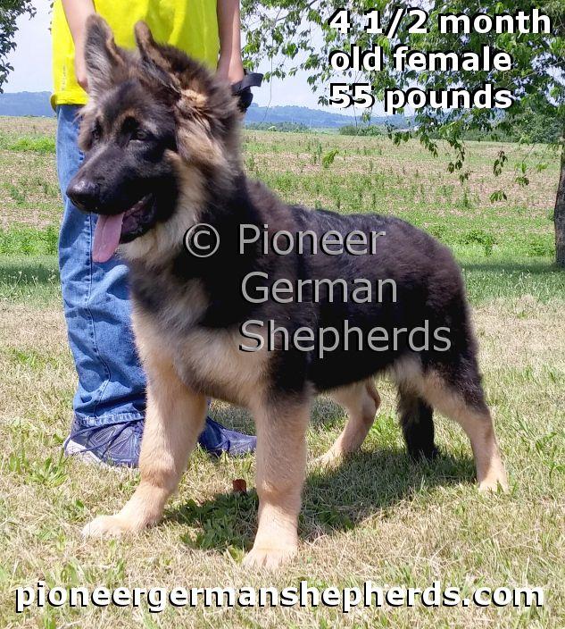Giant German Shepherd female pup