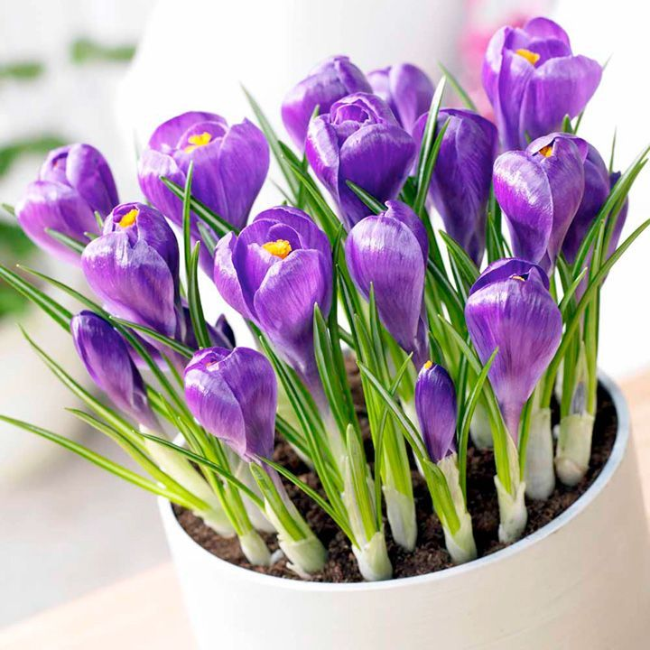 Crocus bulbs! Easy to grow and care. Here's some tips and guidelines on how to plant a crocus bulb for indoor garden.