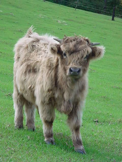 The Cross-Breeding of Miniature Highland and Miniature Dexter Cows and Bulls to produce hybrid Mini High-Dex cattle |