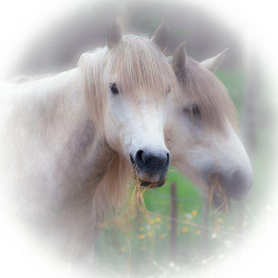 Koop 'Witte paarden' van Jacqueline Lodder voor aan de muur.