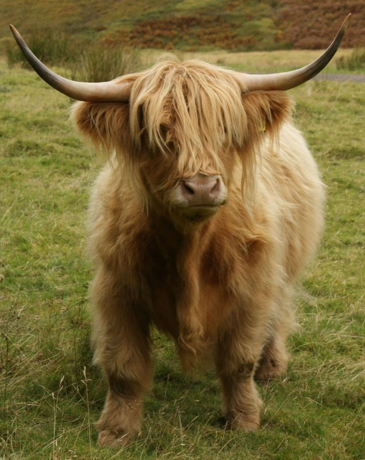 Please tell me they don't eat these adorable creatures! Photograph Highland Cow Glen Lyon Scotland