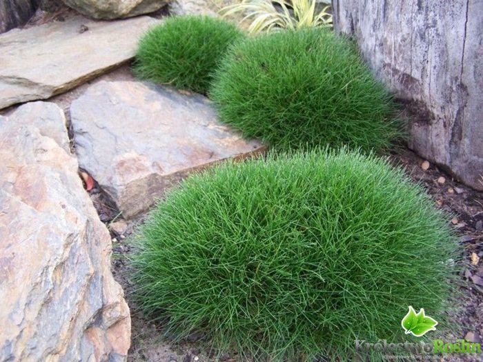 Kostrzewa miotlasta (niedźwiedzie futro) Festuca scoparia, Festuca eskia /P9 - Sadzonki, rośliny ozdobne, sklep ogrodniczy, rośliny ogrodowe