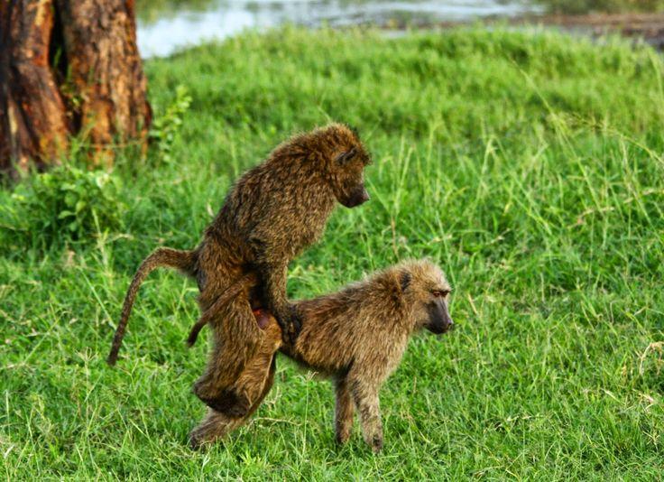 No Serengeti os babuínos passam o tempo fazendo travessuras e espalhando o amor, com manifestações mais ou menos explicitas. As imagens falam muito melhor!