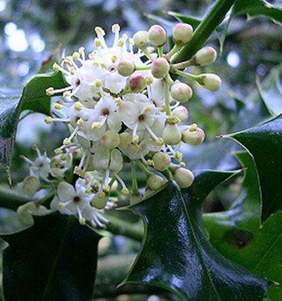 Holly - Ilex acqifolium - Fiori di Bach