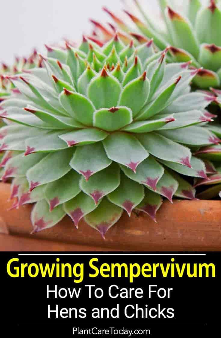 Growing Hens And s: How To Care For Sempervivum ... on lady's mantle plant, thyme plant, perennial plant, gold flower plant, scilla violacea plant, lemon verbena plant, daffodil plant, goat's beard plant, catmint plant, bottling plant, poppy plant, hyssop plant, birch plant, hops plant, lemon balm plant, sage plant, holly plant, yarrow plant, hellebore plant,