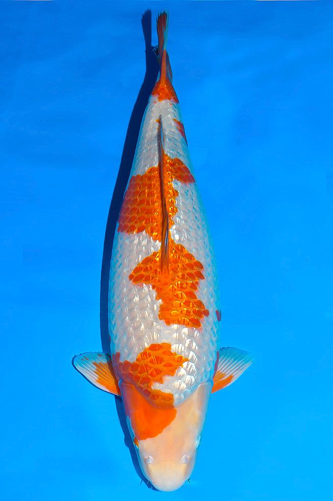 17 best images about koi on pinterest koi pond design for Ochiba koi fish