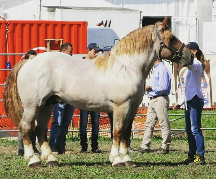 Italian Draft horse. In Italy a lot of these horses are raised for meat! In Europe horse meat is big! Disgusting!