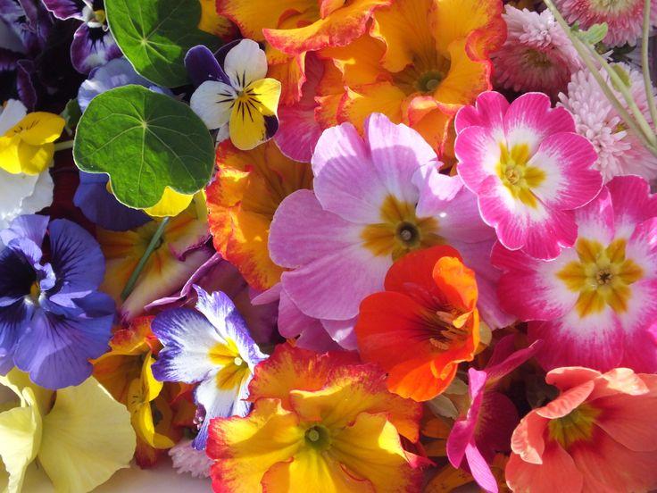 25 best primroses and primulas maddocks farm organics growing edible spring flowers from maddocks farm organics mightylinksfo