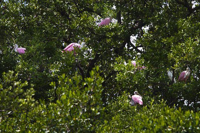 Roseate Spoonbills, Everglades National Park